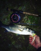 First on fly. They were thick on small bait this night.